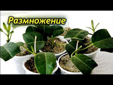 Способы размножения Стефанотиса. Мадагаскарский жасмин – размножение.