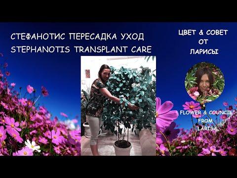 СТЕФАНОТИС КАК ПЕРЕСАДИТЬ, УХОД   Стефанотис уход в домашних условиях видео
