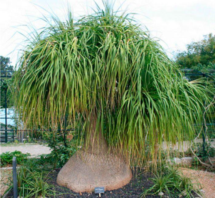 Нолина длиннолистая (Nolina longifolia)